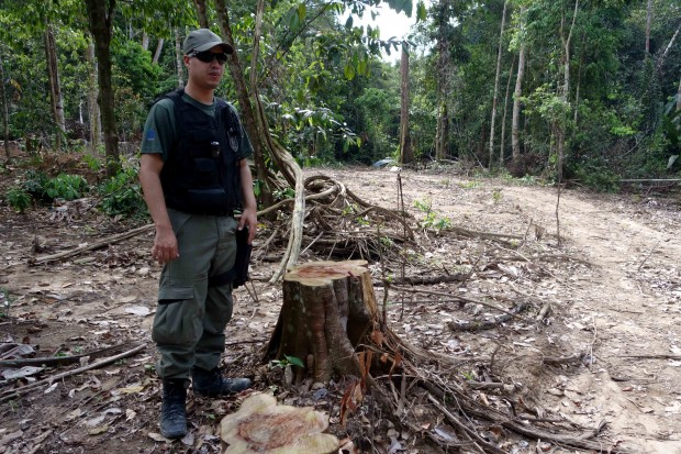 An IBAMA officer checks a recent deforestation site. By inspecting the tree, he can tell a chainsaw was used.